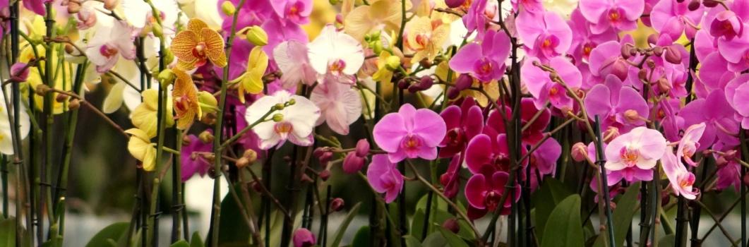 Phalaenopsis – falenopsis mieszańcowy, ćmówka miła, motyli storczyk