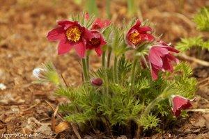 Pulsatilla vulgaris - sasanka zwyczajna