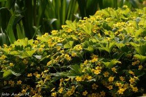 Waldsteinia ternata - pragnia syberyjska