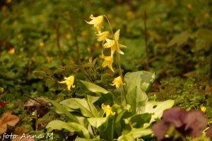 Erythronium hybrida - psiząb mieszańcowy