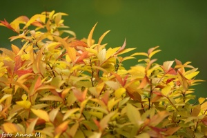Spiraea japonica -tawuła japońska