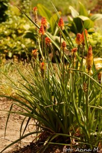 Kniphofia x hybrida - trytoma ogrodowa