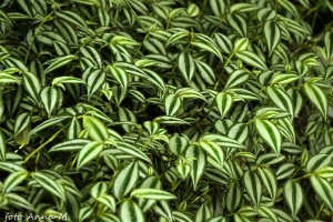 Tradescantia albiflora - trzykrotka biała