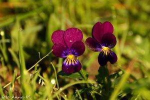 Viola cornuta – fiołek rogaty