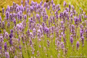 Lavandula angustifolia – lawenda wąskolistna
