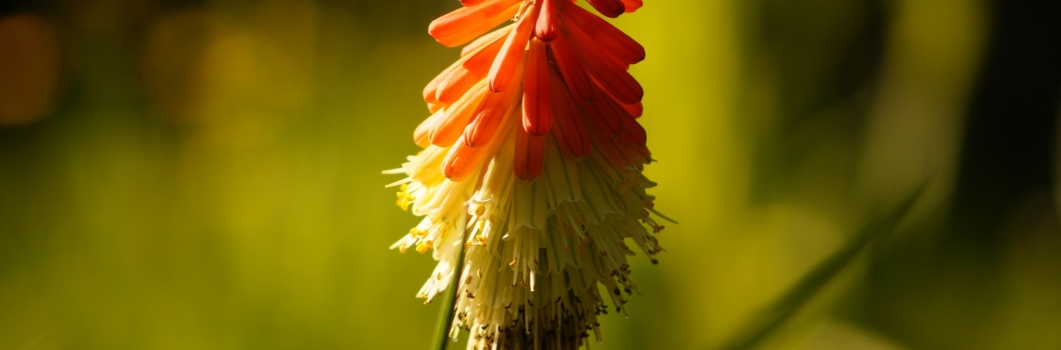 Kniphofia x hybrida – trytoma ogrodowa