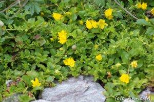 Lysimachia nummularia - tojeść rozesłana