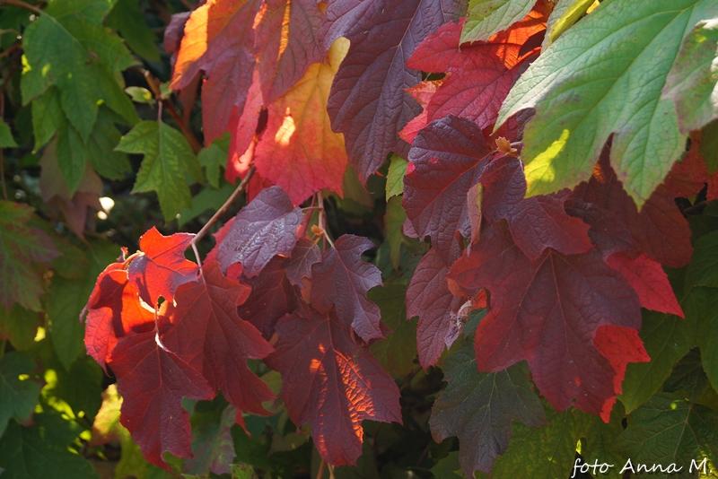 Jesienią szczególnie ładnie wygląda hortensja dębolistna.