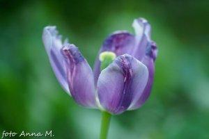 Przekwitający tulipan tuż przed ogłowieniem