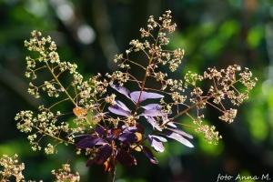 Cotinus coggygria - perukowiec podolski, kwiaty