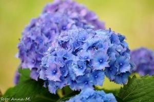 Hydrangea macrophylla - hortensja ogrodowa, podlana związkami glinu daje kwiaty niebieskie