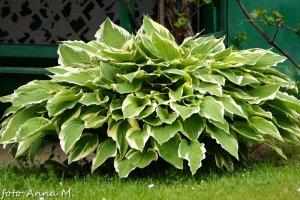 W uprawie są przede wszystkim odmiany funkii o barwnych liściach