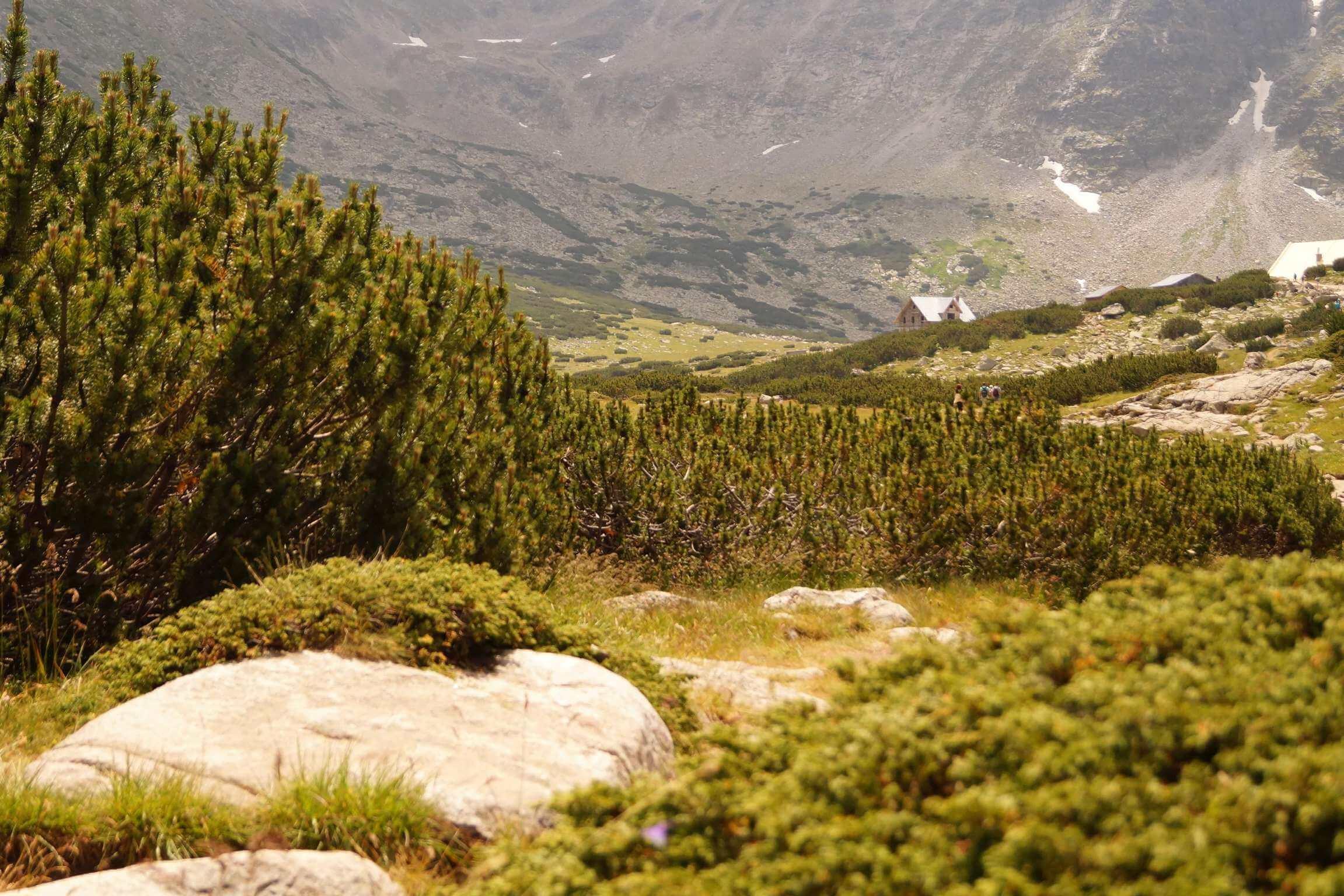 Pinus mugo – sosna kosodrzewina, kosówka