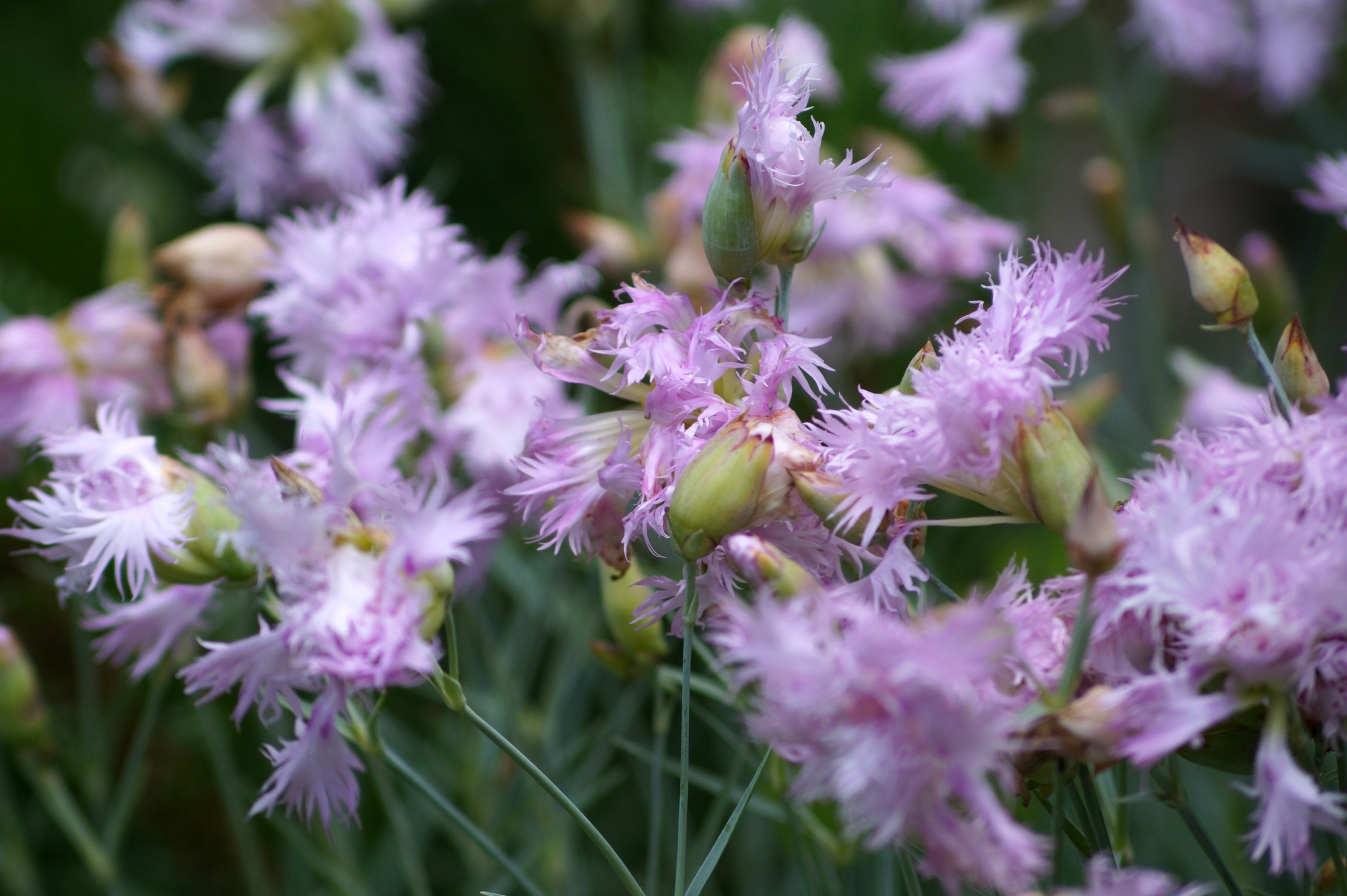 Dianthus plumarius – goździk pierzasty