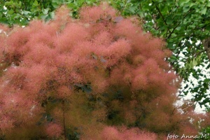 Cotinus coggygria - perukowiec podolski, owocostany