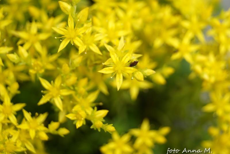 Jednym z rozchodników kwitnących na żółto jest rozchodnik ostry