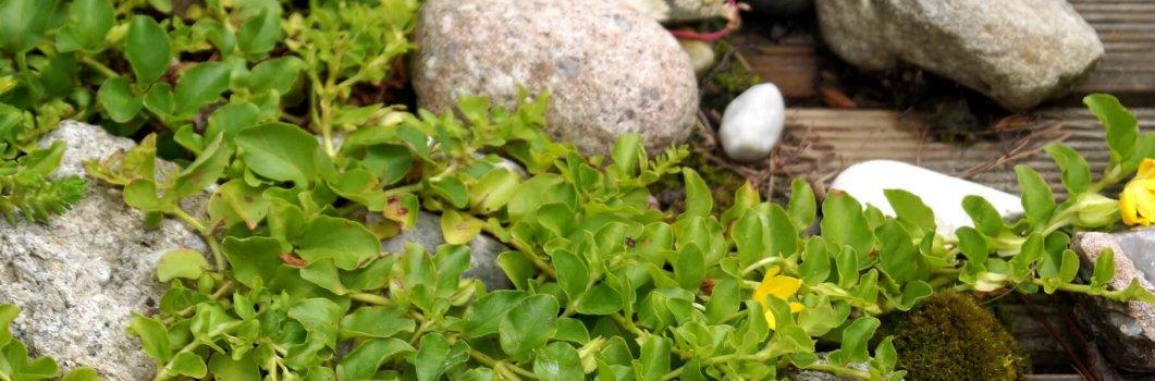 Lysimachia nummularia – tojeść rozesłana