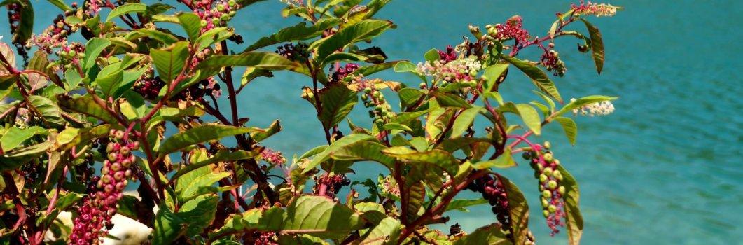 Phytolacca americana – szkarłatka amerykańska