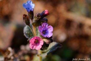 Pulmonaria saccharata (Pulmonaria picta) – miodunka pstra