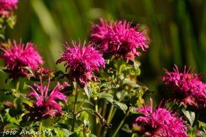 Monarda x hybrida - pysznogłówka ogrodowa, rzadziej uprawiana odmiana różowa