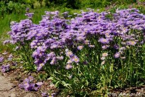 Erigeron x hybridus - przymiotno ogrodowe, turzan
