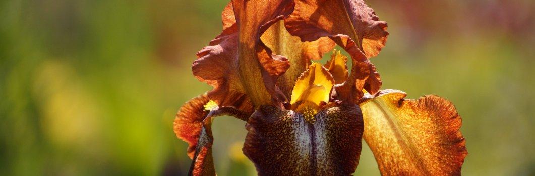Iris x barbata, Iris x germanica – kosaciec bródkowy, kosaciec germański