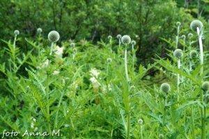 Echinops ritro, Echinops ruthenicus - przegorzan pospolity, przegorzan ruski