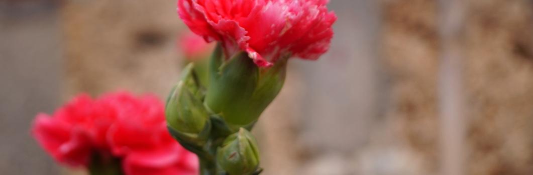Dianthus caryophyllus – goździk ogrodowy