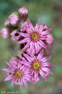 Kwiaty rojnika z bliska