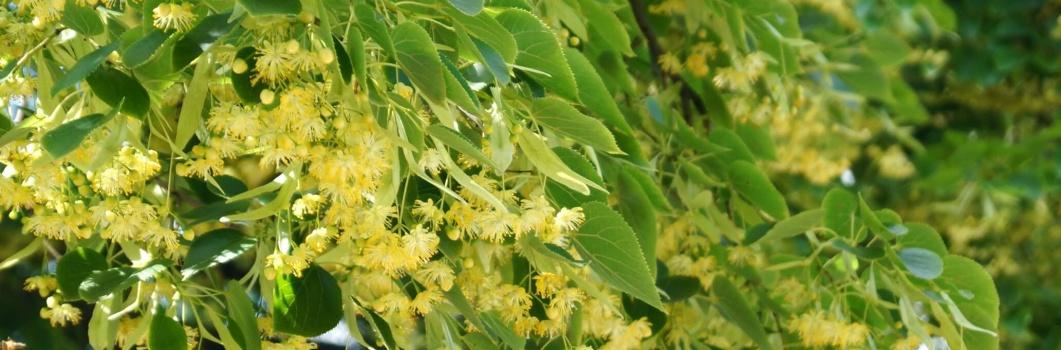 Tilia platyphyllos – lipa szerokolistna