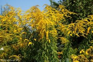Solidago x hybrida - nawłoć ogrodowa, mimoza
