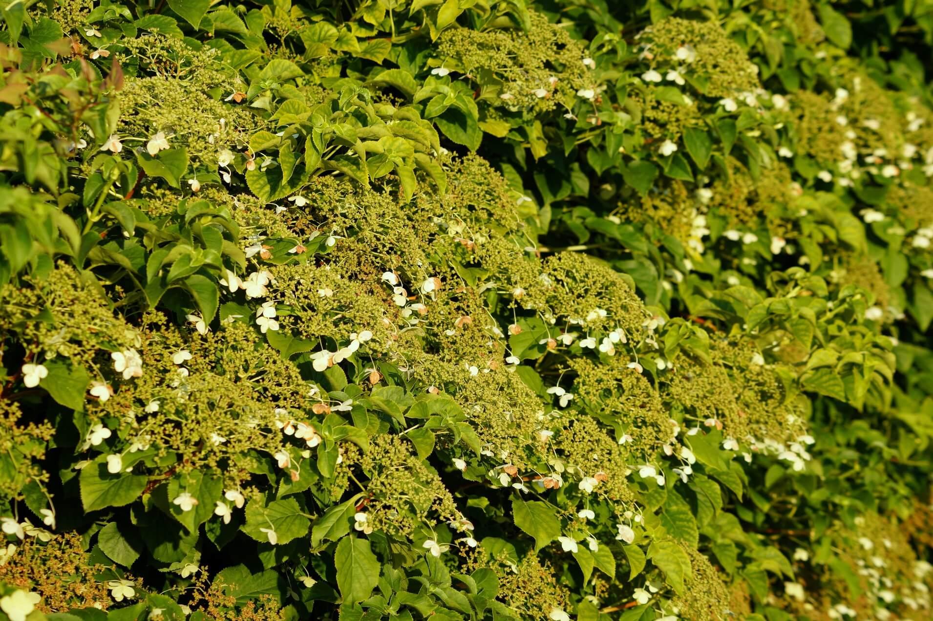 Hydrangea petiolaris – hortensja pnąca