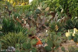 Opuntia vulgaris - opuncja zwyczajna