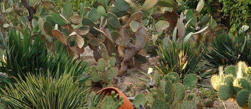 Opuntia vulgaris – opuncja zwyczajna