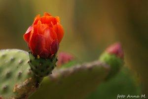 Opuntia vulgaris - opuncja zwyczajna, kwiaty