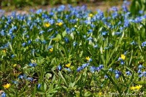 Z czasem cebulica syberyjska tworzy rozległe niebieskie dywany