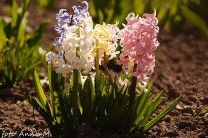 Hyacinthus orientalis - hiacynt wschodni