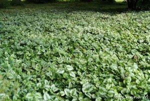 Lamiastrum galeobdolon - gajowiec żółty jest cenną rośliną okrywową