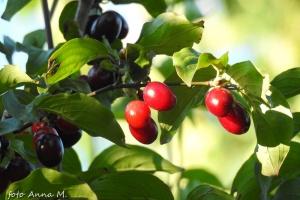 Cornus mas - dereń jadalny, owoce