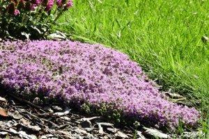 Thymus serpyllum - macierzanka piaskowa