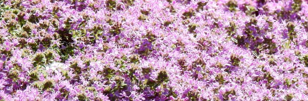 Thymus serpyllum – macierzanka piaskowa