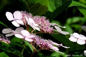 Hydrangea serrata - hortensja piłkowana