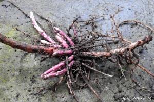 Charakterystyczne różowe rozłogi, dzięki którym tojeść wchodzi w każdy kąt ogrodu