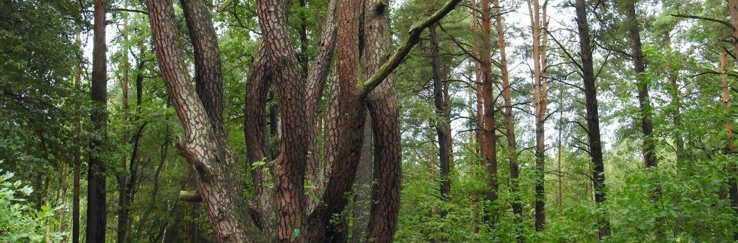 Pinus sylvestris – sosna pospolita