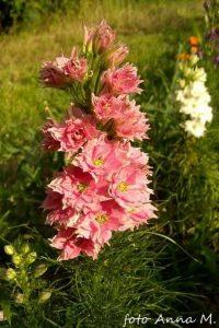 Delphinium ajacis -ostróżka ogrodowa