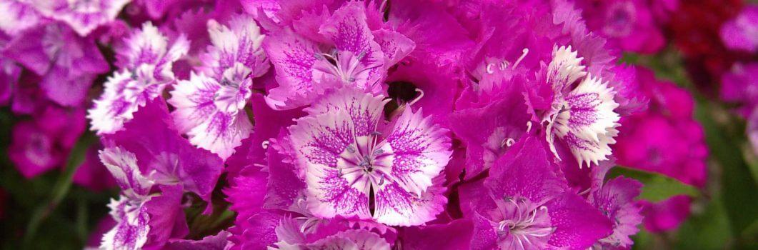 Dianthus barbatus – goździk brodaty