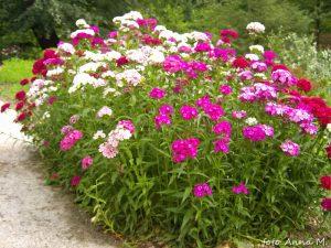 Dianthus barbatus - goździk brodaty
