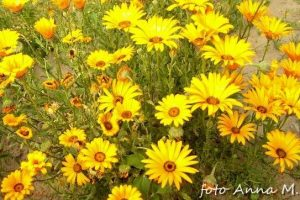 Dimorphoteca sinuata - dimorfoteka zatokowa, złotokwiat