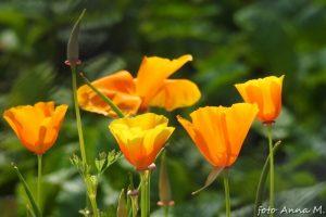 Eschscholzia californica - maczek kalifornijski