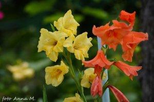 Gladiolus x hybridus - mieczyk ogrodowy